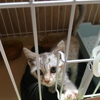 子猫トラ模様のベージュ×グレー性別不明 − 石川県