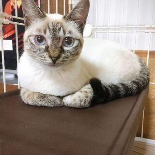 きれいなブルーアイズの猫ちゃん1歳メス