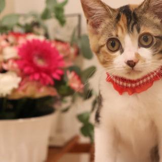 三毛猫るかちゃん 3ヶ月 メス