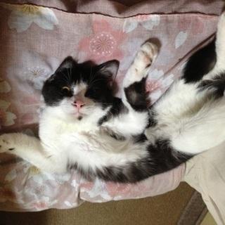 かわいいハチワレ猫です − 埼玉県