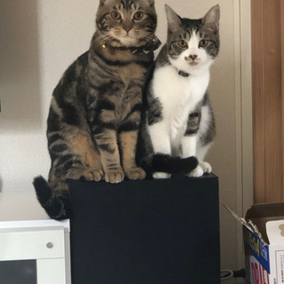 2匹 兄妹猫引き取ってください。