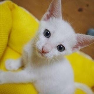 交渉中。白猫ピノ君1ヶ月半