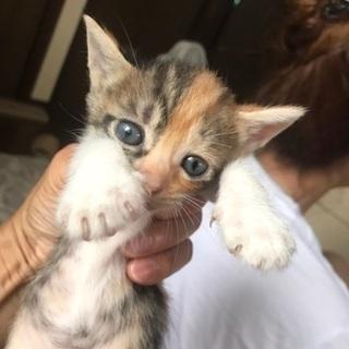 三毛の子猫です。 - 比企郡