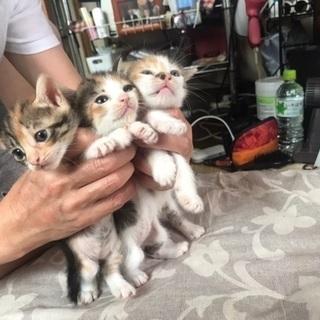 三毛の子猫です。 - 猫