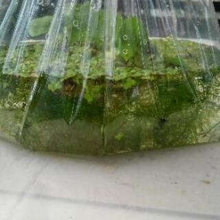 ●ホテイ草、マツモ、アオウキ草