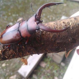 中之島産 トカラノコギリクワガタ 幼虫(残り7頭)