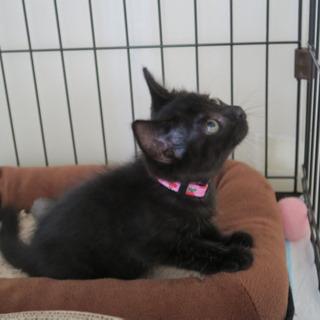 黒猫のモードちゃん - 里親募集