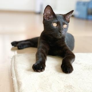 多頭飼育からレスキュー おてんば黒猫姉妹「クシャミちゃん」