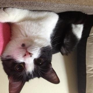 かわいいハチワレ猫です - 猫
