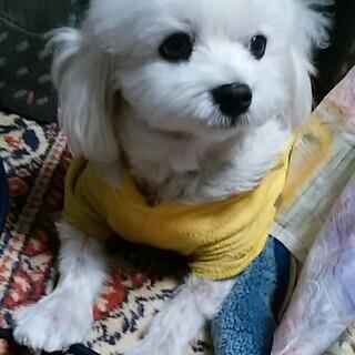 小型犬のマルチーズ(男の子)15歳7か月の元気な高齢犬の里親をさ...