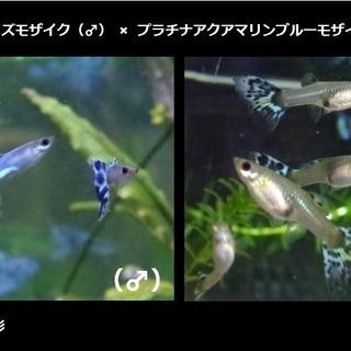 【ラスト出品】アイボリーターコイズモザイク(♂)× プラチナアク...
