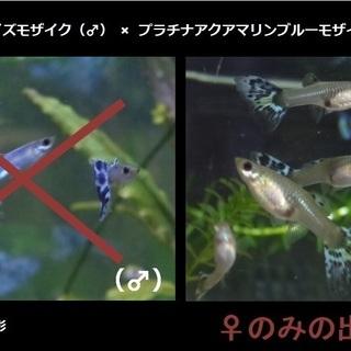 グッピー♀のみ × 15匹 / アイボリーターコイズモザイク(♂...