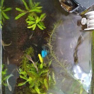 【熱帯魚国産グッピー】稚魚譲ります