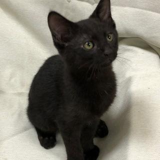 三か月男の子❤️かわいい黒猫❤️性格がよい子です