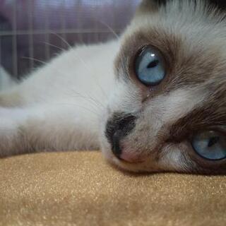 シャム&アメショー ミックス 男の子 子猫