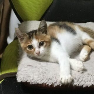 まんまる顔・三毛猫♪コロコロ仔猫♪2ヶ月