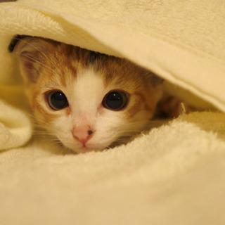三毛猫の女の子 - 猫