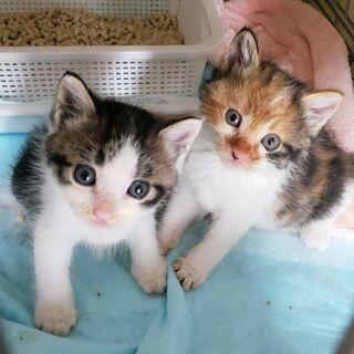 【里親様決定★】生後3週くらいの三毛♀とキジシロ♂の姉弟✨