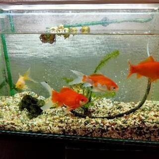 金魚、飼育器具をお譲りします。