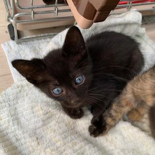 生後40日位、ブルーアイの黒猫の男の子、里親さん探してます。