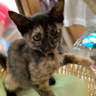かわいいサビ猫、生後60日位里親さん募集