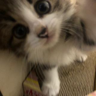 子猫 メス  - 筑西市