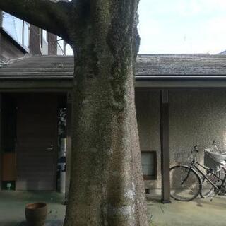 榎の大木 差し上げます。