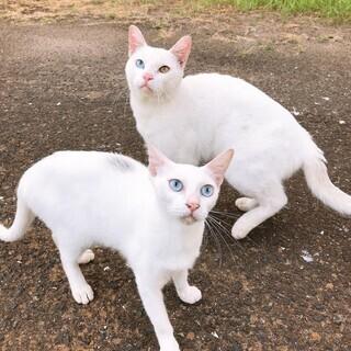 可愛いオッドアイ猫と綺麗なブルーアイ猫の里親さん募集しています