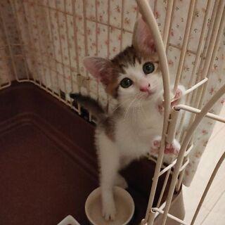 生後約1ヶ月半くらい♪可愛いキジシロの女の子(^^)優しい里親様...