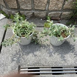 多肉植物 鉢付き