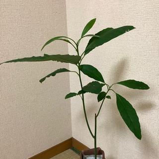 アボカド苗木 観葉植物 F