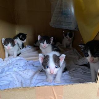 締め切りました。もうすぐ1ヶ月2020/7/18生まれ7匹の子猫