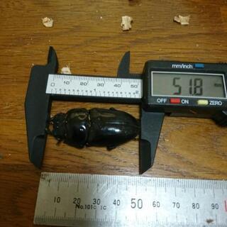 オオクワガタ ♀ 51.8mm