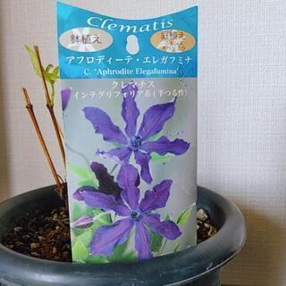 ★クレマチス鉢植え(品種:アフロディーテ エレガフミナ)