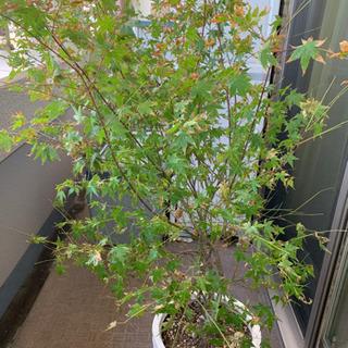 観葉植物 紅葉 もみじ オリーブも出品中