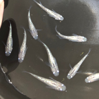 ◆白ラメ幹之メダカ 若魚 お盆期間2割引