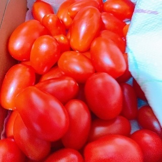 ミニトマト シシリアンルージュ&ロッソナポリタン