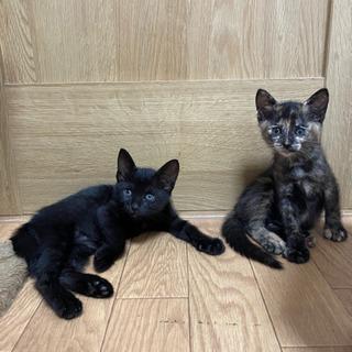 生後2ヶ月  黒サビ姉妹