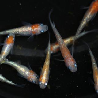 メダカ 紅白ラメ体外光 卵