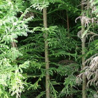 無料 杉 直径2~5cm