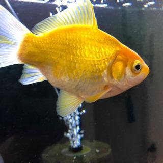 金魚(玉こがね)あげます。
