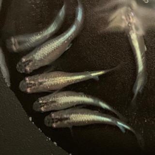 茨城、天女の舞の稚魚、若魚