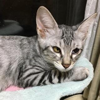 片目の子猫、サバトラ、4ヶ月オス1
