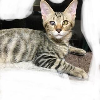 片目の子猫、キジトラ、4ヶ月オス2