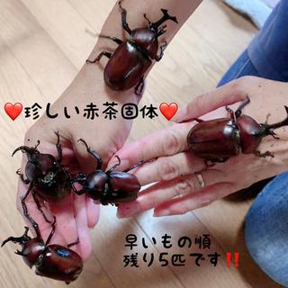 【限定5匹】珍しいカブトムシ赤茶固体  オス カブトムシ