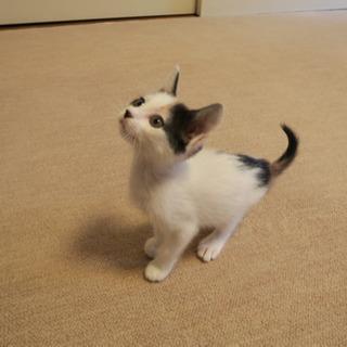 甘えん坊の三毛猫デコちゃん - 里親募集