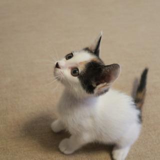 甘えん坊の三毛猫デコちゃん - 猫