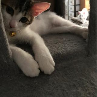 里親様決定!キジ白のラムくん 生後2ヶ月男の子(=^ェ^=) - 猫