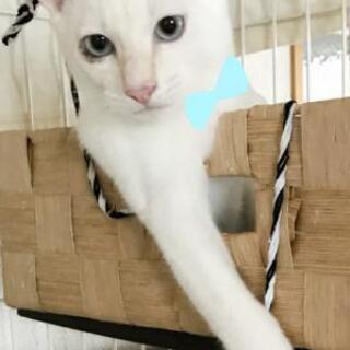 白猫☆シャイボーイ