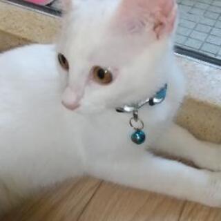 4ヶ月の白猫